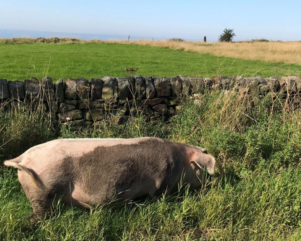 Peak District pig next to the road