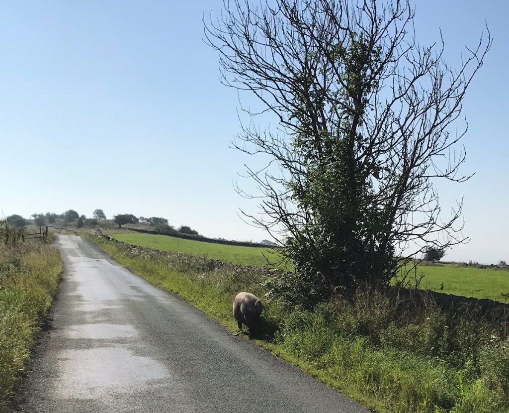 Peak District ride with a pig